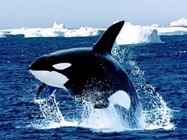 Killer Whale Vs Great white shark - Bodybuilding com Forums