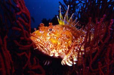 Scorpaena fish