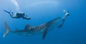 Cocos island Shark