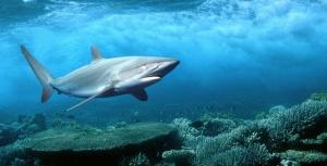 rode island sharks